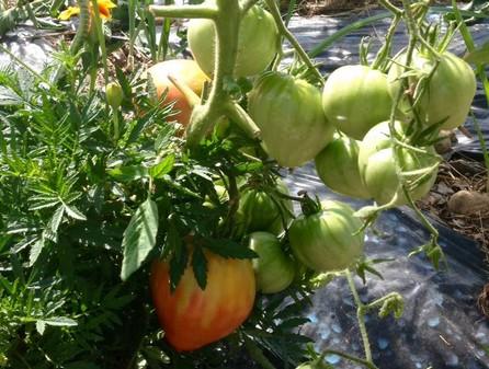 Tomates du potager du Buc