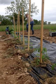Plant de tomates Bio au domaine du Buc
