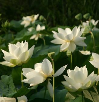 jardin-des-martels-lotus-5